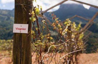 blog-uva-viognier-brasil-raizes-do-bau-fazenda-protal-da-luz